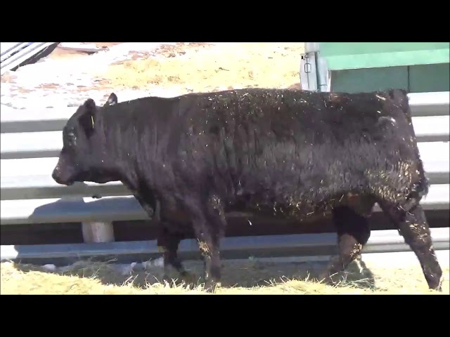 Connealy Angus Lot 107