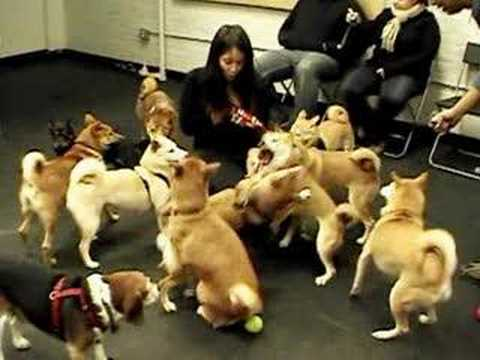 When Shibas Attack