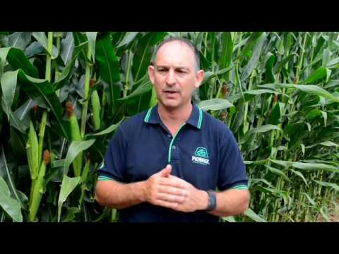 Corn Agronomics - corn silage harvest