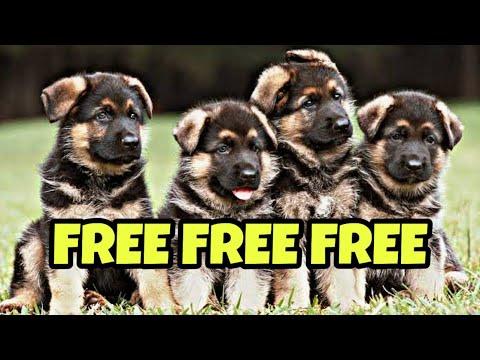 Free Free Free German Shepherd Female Puppy 🐕🐕🐩🐕🐕