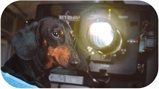Halloween in Drive-in theater! Funny dachshund dog video!