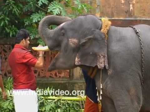 Kalarikavu Ambadikkannan elephant, Vadakumnathan temple ...