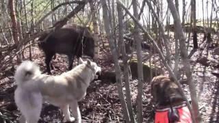 Восточно-сибирская Лайка - работа по кабану