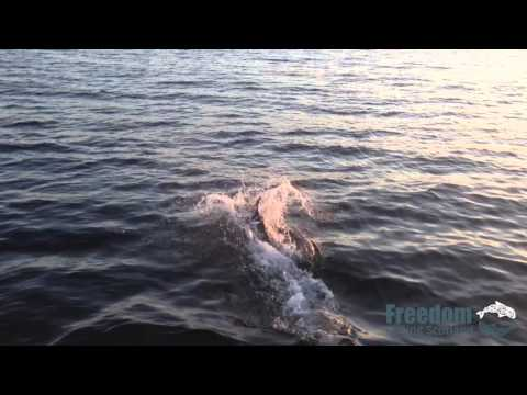Dolphins at the Clyde Sea Sill MPA