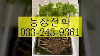장뇌삼가격 산양산삼가격 5~^년근대10뿌리에10뿌리더