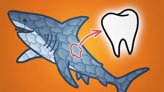 Why Sharks Are Covered In Teeth