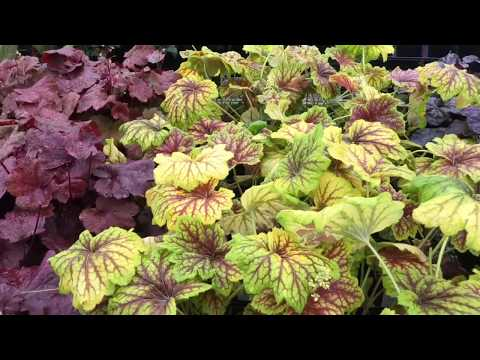 Plant color for shade gardens Coral Bells / Heuchera side by side