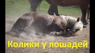 Колики у лошадей. Как выявить, чем помочь.