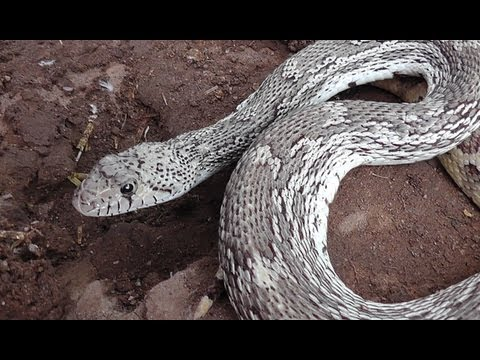 Wild Friendly Gopher Snake Hangs Out