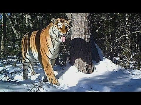 Download La BBC capta a un tigre siberiano a -40º