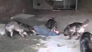 Стая волков напала на чела! Ужас!!!