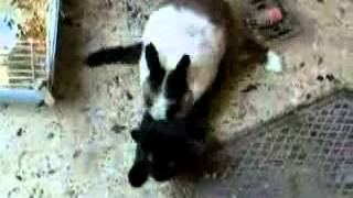 Rabbit Tries To Have Sex With Cat Funny!!! LOL