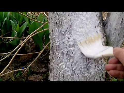 Вопрос: В каком случае белить стволы деревьев вредно?