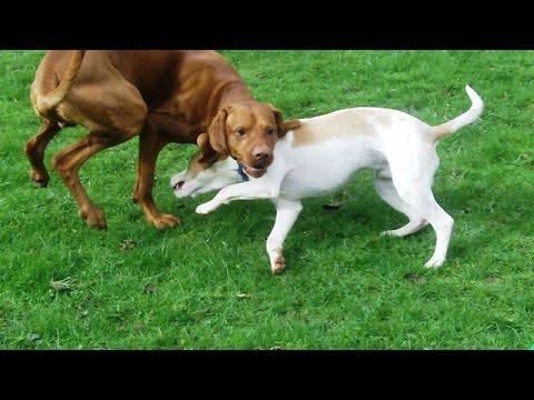 Archie Hungarian Vizsla  meets Beagle Jeeves.