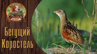 #Русский#Охотничий#Спаниель.#Охота на болотно-луговую#дичь.#Коростель. Бегущий профессор.