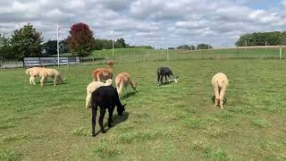 Live at an alpaca farm!