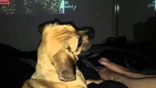 Puggle (pug X Beagle) Meets New Iphone 6 Ring Tones