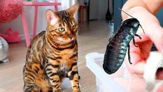 Murka cat plays with a cockroach, we look on YouTube!