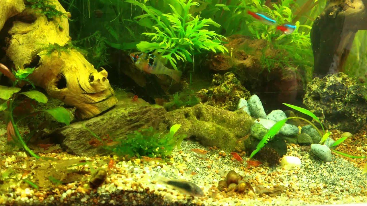 Crevettes d 39 aquarium eau douce youtube for Eau douce aquarium