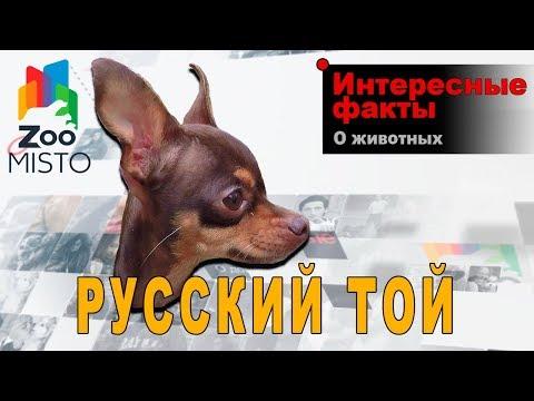 Русский Той - Интересные факты о породе