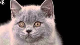 Питомник британских кошек *Лас Вегас*
