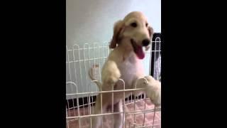 アフガン・ハウンドの子犬を販売しています。毛色:クリーム。 お問い合...