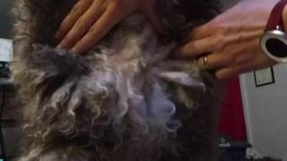 Cording A Spanish Water Dog: 5. Early Cord Splitting