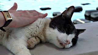 【地域猫】河原に一時帰宅。シロ君に最後の一瞬まで頑張る意志を感じました。【魚くれくれ野良猫】 thumbnail