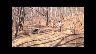 Обучение собаки направлениям вперед-лево-право