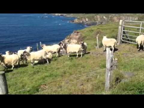 Sheep - Dun Chaoin, Co Kerry