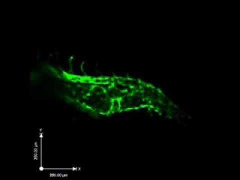 Blood Vessel Development In The Zebrafish Embryo - Courtesy Of LMP Prof. Jason Fish