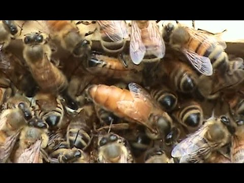Beekeeping: Another Swarm Turning Up.