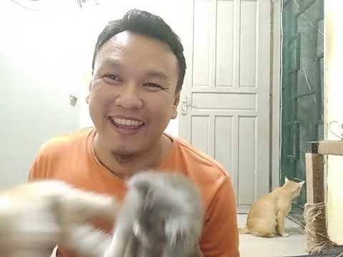 Cara Merawat Kucing Himalaya 4 Bulan Bisabo Channel 2020