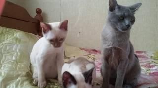 Голден Бой, тонкинский котенок