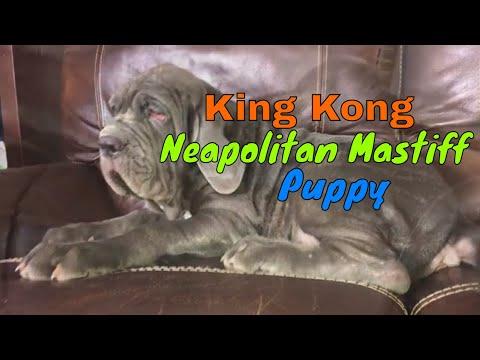 King Kong a Neapolitan Mastiff puppy || CENTEX MASTINOS || Austin, Texas || Rancho Soler