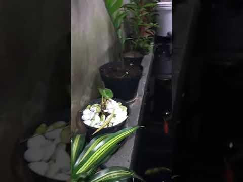 kolam koi minimalis - youtube