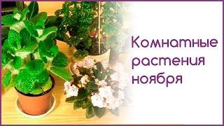 Комнатные растения ноября(В этом видео я покажу свои комнатные растения, которые меня порадовали в ноябре и продолжают удивлять сейча..., 2015-12-05T13:16:42.000Z)