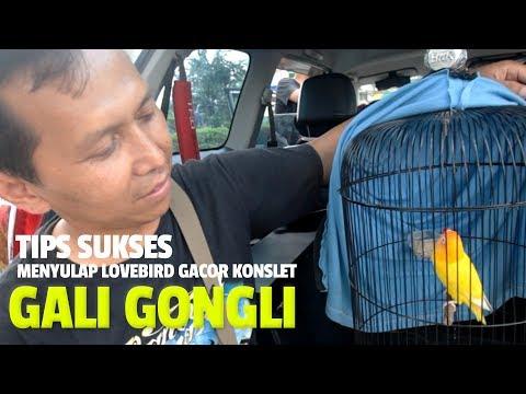 BRANDY WATCH : Tips Sukses MENYULAP Lovebird Lutino Gacor Konslet Seperti GALI GONGLI