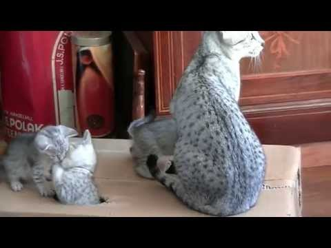 Egyptian Mau kittens 2014 Cheetah en haar kittens 2014 deel 3