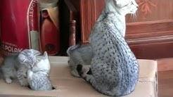 Egyptian Mau kittens 2014 Cheetah en haar kittens 2014 deel 3