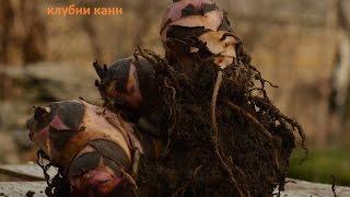 Канны Как правильно выкопать и сохранить клубни