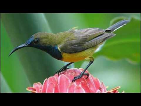 Kolibri Sogok Ontong nyerecet Panjang buat MP3 MASTERAN