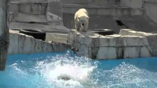 失敗するとシュン・・?Polar Bears playing in pool
