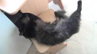 Кошка прикольно встает на задние лапы