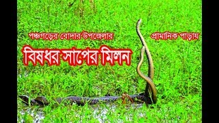 সাপের মিলন ।snake sexual intercourse । সাপের শঙ্খ