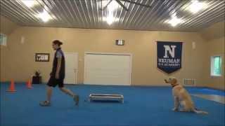 Max (labrador Retriever) Boot Camp Dog Training Video