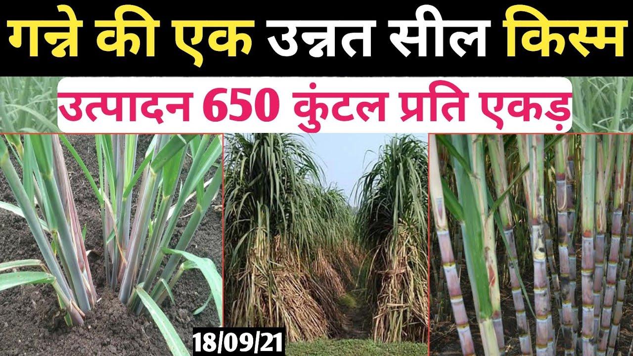 गन्ने की उन्नतशील किस्म । गन्ने का नया बीज कैसे खरीदे ।Co-8005। Sugarcane New variety 8005।Seeds New