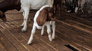 Nimkar Goat farm Phaltan visit Jan 2018