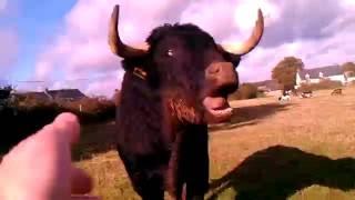 Voilà comment hurle un taureau qui a mal.