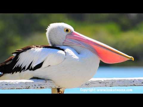 Pelican Yawning - Noosaville Queensland